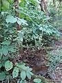 Starr 070321-6118 Piper auritum.jpg