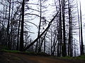Starr 070908-9145 Pinus sp..jpg