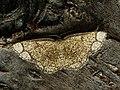 Stegania cararia - Ringed border - Пяденица осиновая жёлтая (40893988192).jpg
