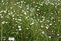 Stellaria graminea kz02.jpg
