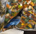 Steller's Jay perched on a wooden rail with autumn foliage.jpg