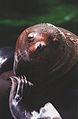 Steller Sea Lions(Vancouver)09(js).jpg