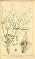 Sterculia alexandri00.jpg