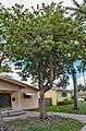 Sterculia quadrifida tree.jpg