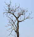 Sterculia villosa tree at Jayanti, Duars, West Bengal W Picture 241.jpg