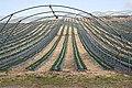 Strawberry Fields - geograph.org.uk - 801724.jpg