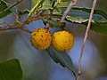 Strawberry Tree (Arbutus unedo) immature fruits (15880675256).jpg