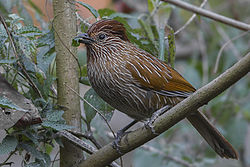 Striated Laughingthrush Chaffi, Nainital, Uttarakhand, India 05.02.2015.jpg