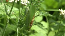 Slika:Stridulating Green Bush-Crickets.ogv