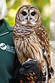 Strix varia -Alabama Wildlife Center, USA-8a.jpg