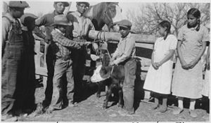 Porcupine, South Dakota - Students at Brave Heart Day School in Porcupine learn to brand a calf, Oct. 2, 1937