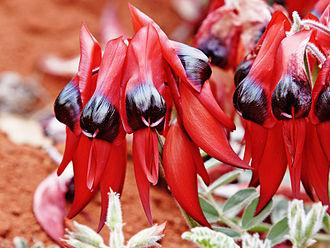 Swainsona formosa - Sturt's Desert Pea, at Melbourne Zoo