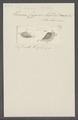 Stylonychia mytilus - - Print - Iconographia Zoologica - Special Collections University of Amsterdam - UBAINV0274 113 18 0017.tif
