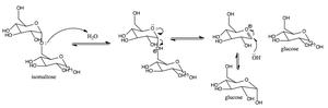 Sucrase-isomaltase - Mechanism for how sucrase-isomaltase catalyzes the conversion of isomaltose to two glucose molecules