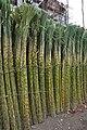Sugarcane 7419.JPG