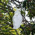 Sulphur-crested Cockatoo .Cacatua galerita. (15200703493).jpg