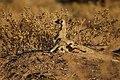 Suricates, Namibia (3165876111).jpg