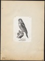 Surnia ulula - 1809-1845 - Print - Iconographia Zoologica - Special Collections University of Amsterdam - UBA01 IZ18400003.tif