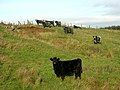 Suspicious Cattle - geograph.org.uk - 285715.jpg