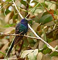 Swallow-tailed Hummingbird (Eupetomena macroura) immature - Flickr - berniedup.jpg