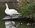 Swans in Herbert Park, Ballsbridge, Dublin (10600345135).jpg