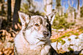 Swedish Vallhund December 2012 014.JPG