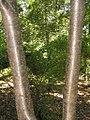 Syringa reticulata 8zz.jpg