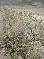 Syringa vulgaris, Oleaceae 05.jpg