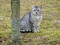kucing tabi wikipedia bahasa indonesia ensiklopedia bebas