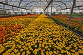 Tagetes in Al Sulaiteen Complex greenhouse.jpg