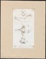 Tapirus indicus - schedel - 1700-1880 - Print - Iconographia Zoologica - Special Collections University of Amsterdam - UBA01 IZ22000295.tif