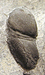 <i>Tariccoia</i> genus of arthropods (fossil)
