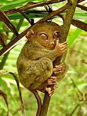Philippine Tarsier, once considered a prosimian, now considered a haplorrhine