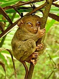 Tarsier Hugs Mossy Branch