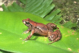 Eungella tinker frog - Image: Taudactylus liemi