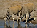 Taurotragus oryx.jpg