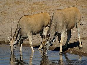 Elenantilopenpaar, rechts der Bulle mit massiveren Hörnern und der typischen Wamme