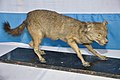 Taxidermied Jackal - Palta - North 24 Parganas 2012-04-11 9594.JPG
