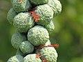 Taxodium distichum - Močvarni čepres (111).jpg