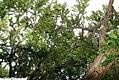 Taxus cuspidata 3zz.jpg