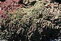 Teguise Guatiza - Jardin - Euphorbia pugniformis cristata 02 ies.jpg