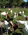 Templeton goats.png
