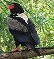 Terathopius ecaudatus -Birdworld, Farnham, Surrey, England-8a.jpg