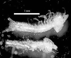 Tethysbaena ophelicola, sub-adults.jpg