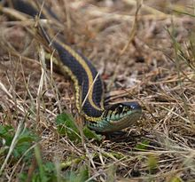 Thamnophis ordinoides 071616 A.jpg