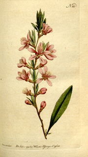 The Botanical Magazine, Plate 161 (Volume 5, 1792).png