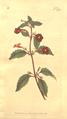 The Botanical Magazine, Plate 374 (Volume 11, 1797).png