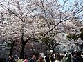 The cherry-tree-lined path near Akabanebashi Station.JPG