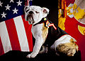The official mascot of the Marine Corps, English bulldog Pfc. Chesty the XIV, poses for his official photo at Headquarters Marine Corps Combat Camera in the Pentagon, Arlington, Va, May 15, 2013 130515-M-KS211-004.jpg