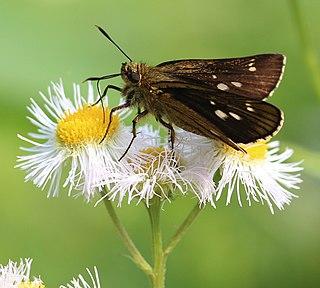 <i>Thoressa varia</i> species of insect